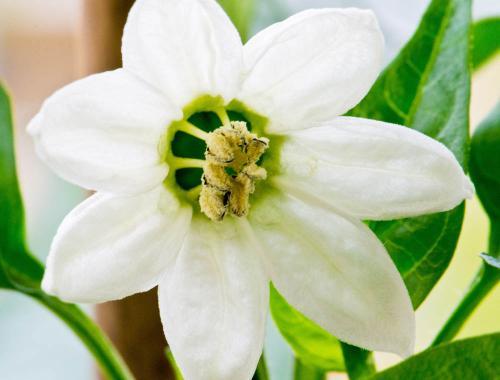 pepperflowerlores