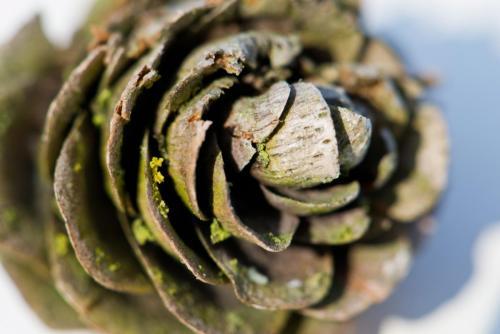 pine-cone