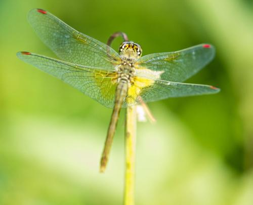 Dragonfly5