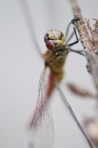 Dragonfly8