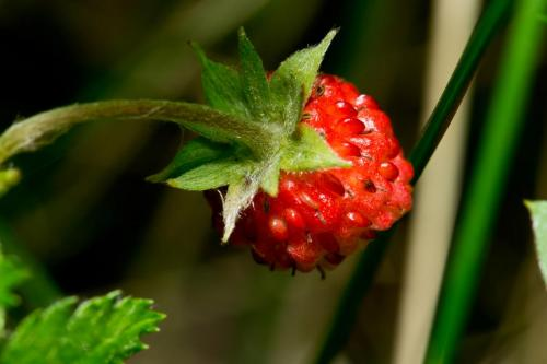 small-wild-strawberry