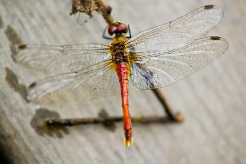 Dragonfly6