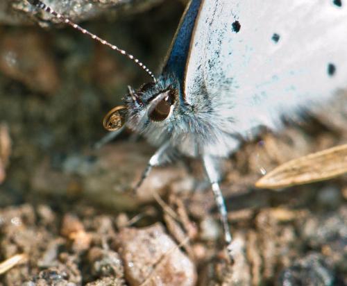 MothTonguelores