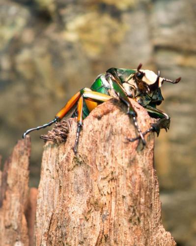 beetlelr