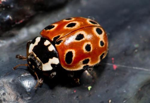 big-ladybird