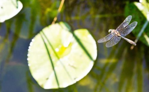 dragonflyflight