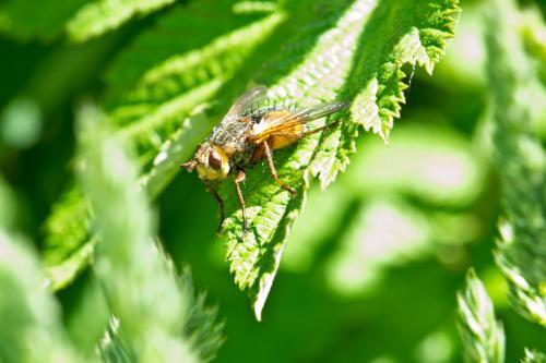 golden-fly