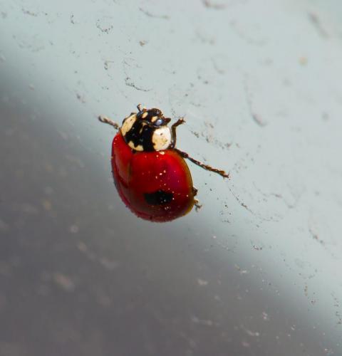 ladybird1