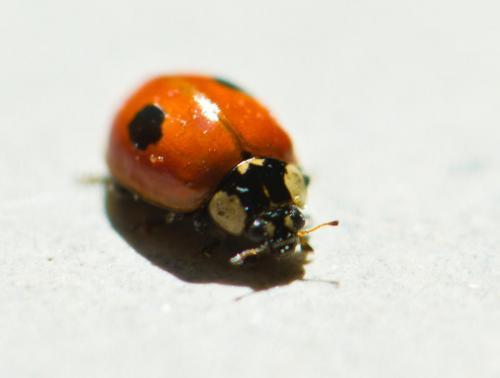 ladybird3