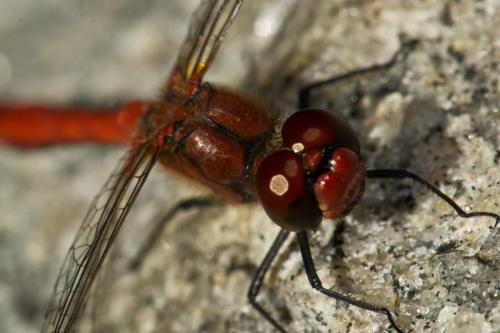 red-dragonfly1