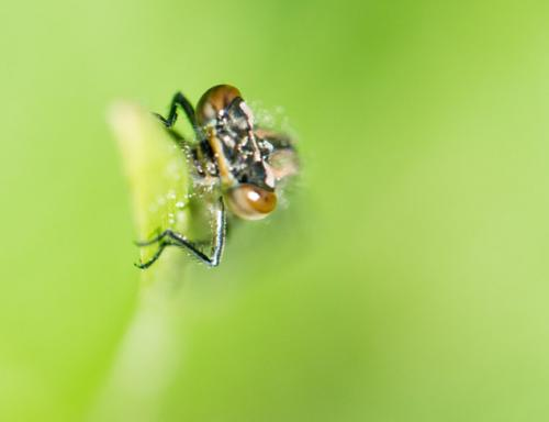 young-damsel-fly-2