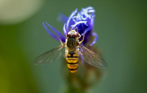 Hoverfly2