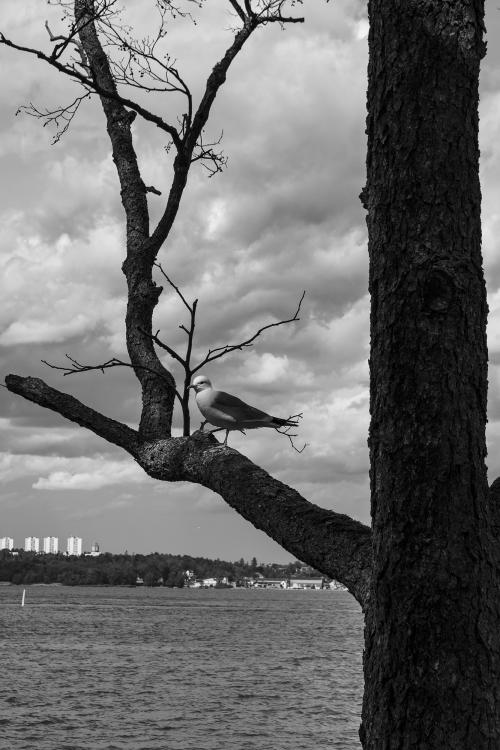 Seagull in Tree