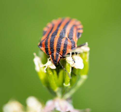 Striped Shield Beetle